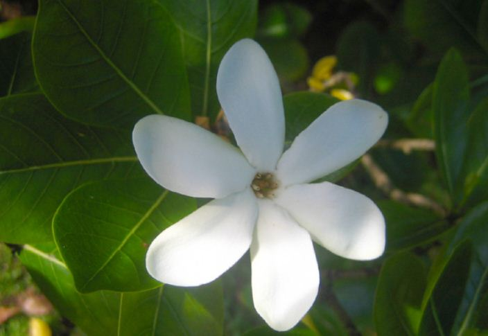 monoi flower