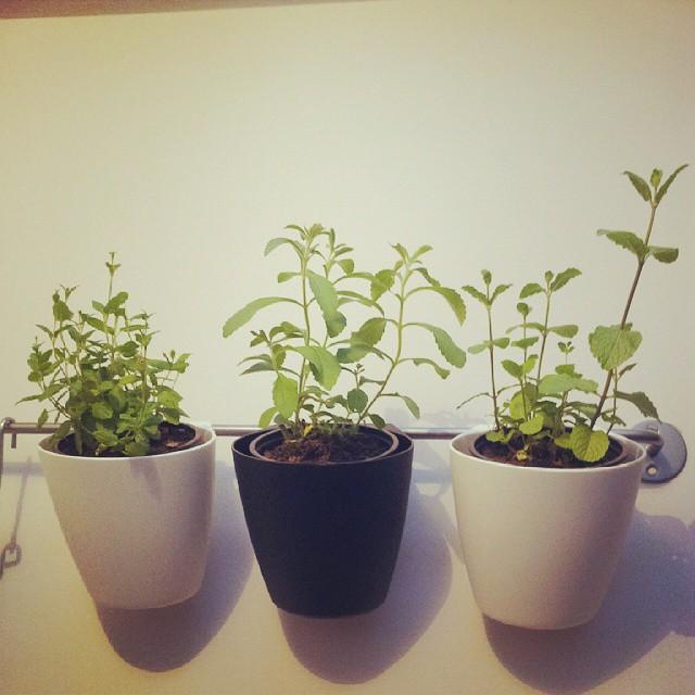 #herbgarden #stevia #mint